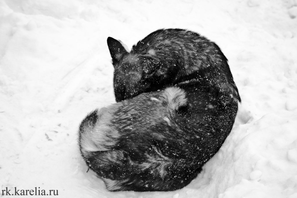 Безнадзорные животные в Петрозаводске