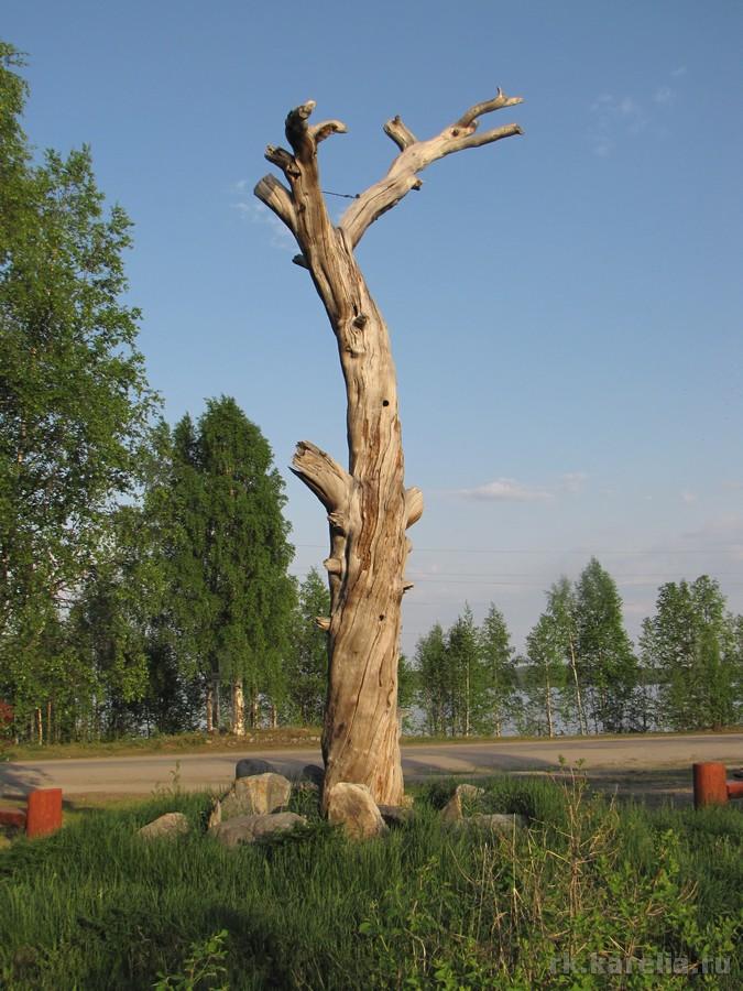 Сосна Лённрота в Калевале