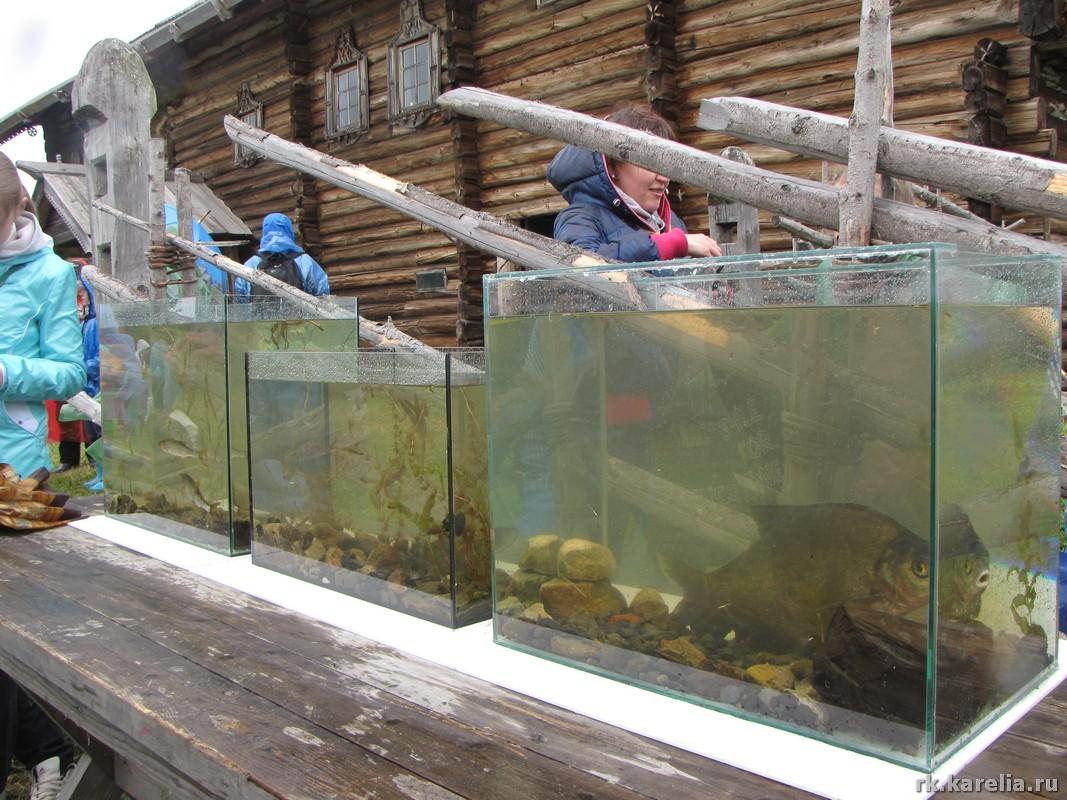 Обитатели Онежского озера в аквариумах.