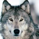 В Карелии по-прежнему много волков, а у зайцев и белок — взрыв рождаемости