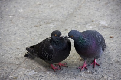 Петрозаводские голуби